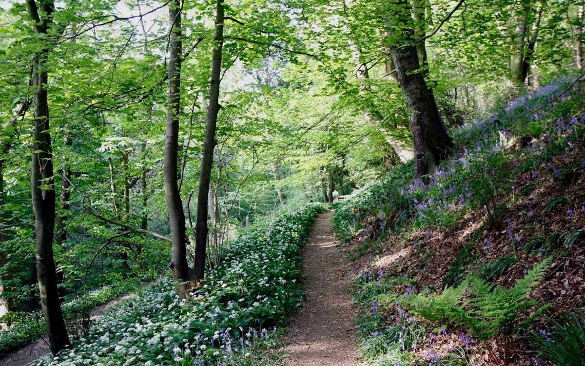 Hackfall Woods near Morton House in Masham in springtime with blue bnells and wild garlic in flower