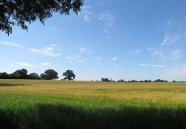 Wide view over barley field to mature trees and blue sky