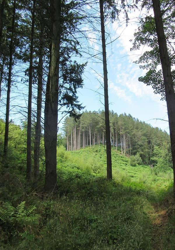 Masham woods, mature trees